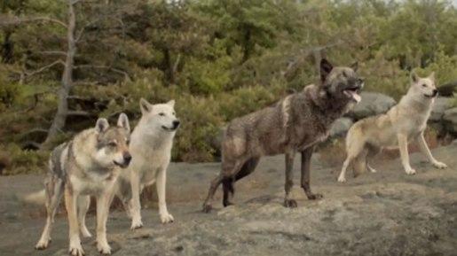 Meute de loups Najat Vallaud Belkacem Grande mobilisation de l'école pour les valeurs de la République Albi Libres enfants du Tarn association 81